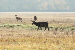 Male fallow deer at dawn 1. Male fallow deer at dawn, walking on meadow  Dama Stock Photo