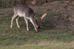 Male Fallow deer. Male Fallow deer eating grass Royalty Free Stock Photo