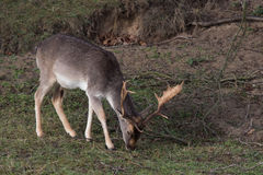 Male Fallow deer. Male Fallow deer eating grass Royalty Free Stock Photos