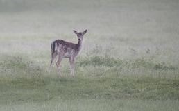 Fallow deer doe Royalty Free Stock Photos