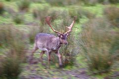 Male fallow deer with fully grown antlers running past with motion blur towards the edge of the image. Male fallow deer with fully grown antlers running past the Royalty Free Stock Photos