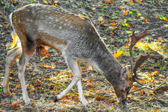 Male fallow deer grazing in the forest Royalty Free Stock Photography