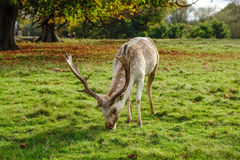 Male fallow deer grazing in parkland. During the autumn in England Royalty Free Stock Photography