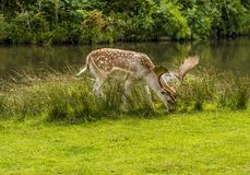 A male fallow deer beside the River Lin in Bradgate Park, Leicestershire,. A male fallow deer grazing beside the River Lin in Bradgate Park, Leicestershire, UK Royalty Free Stock Image