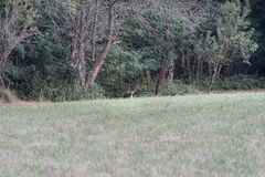 Male Fallow deer on green forest background
