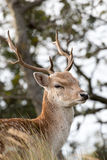 Male Fallow deer Royalty Free Stock Images