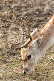 Male Fallow deer. Head of young male Fallow deer eating grass stock photos