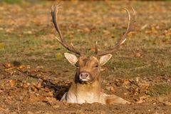 Male fallow deer in a hole Royalty Free Stock Photo
