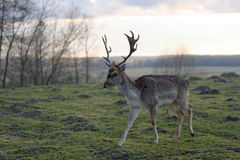 Male fallow deer. Living in fence on Polish countryside Stock Images