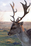 Male fallow deer. Living in fence on Polish countryside Stock Photos