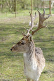 Male fallow deer. Living in fence on Polish countryside Stock Image