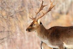 Male fallow deer portrait Royalty Free Stock Photo