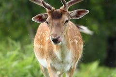 Male fallow deer portrait. Male fallow deer ( dama ) portrait while walking in a clearing Stock Photos