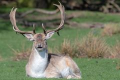 A male Fallow Deer relaxing in a field.  stock images