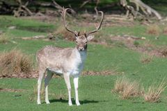 A male Fallow Deer relaxing in a field.  royalty free stock images