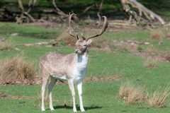 A male Fallow Deer relaxing in a field.  royalty free stock photography