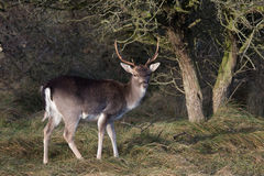 Male Fallow deer. Male Fallow deer from right site Stock Photos