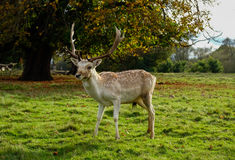 Male fallow deer. Stood in parkland Stock Image