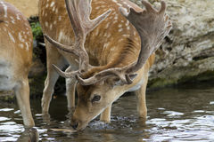 Male fallow deer in stream Stock Photography