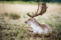 Male fallow deer in the wild forest. The male fallow deer (Dama dama, known as a buck) is resting in the wild surrounded by a thick bush shielding it from fierce stock photo