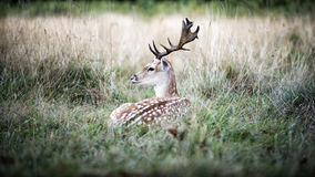 Male fallow deer in the wild forest Stock Images