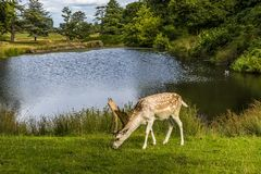 A male fallow beside a lake in Bradgate Park, Leicestershire, UK. A male fallow grazing beside a lake in Bradgate Park, Leicestershire, UK, during the summer Stock Photos
