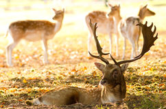 Male fallow with some hinds Stock Photography