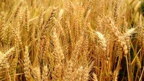 Male farmer hands in wheat field.
