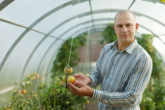 Male farmer looks tomatos plant Royalty Free Stock Photography