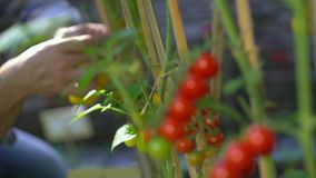 Male farmer man checking and inspecting quality of plants of organic tomatoes in garden field. Tomato Harvesting. Agriculture Harvest Farming no GMO. Farmer stock video footage