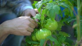 Male farmer man checking and inspecting quality of plants of organic tomatoes in garden field. Tomato Harvesting. Agriculture Harvest Farming no GMO. Farmer stock video