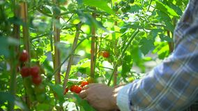 Male farmer man checking and inspecting quality of plants of organic tomatoes in garden field. Tomato Harvesting. Agriculture Harvest Farming no GMO. Farmer stock footage