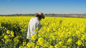Male Farmer in Oilseed Rapeseed Cultivated Agricultural Field Examining and Controlling The Growth of Plants stock footage
