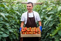 Male farmer picking fresh tomatoes in box from his hothouse garden royalty free stock photos