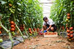 Male farmer picking fresh tomatoes in box from his hothouse garden stock photo