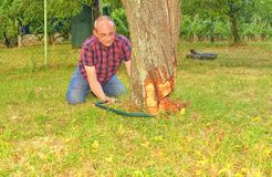 Male farmer sawing old tree. Middle aged man cutting fruit tree down. Mature man, gardener in summer stock image