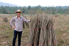 Male farmer standing with akimbo and one hand catch the limb of tapioca plant that cut the stack together in the farm. Male farmer standing with akimbo and one royalty free stock photography