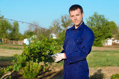 Male farmer tying grape branches Royalty Free Stock Photography