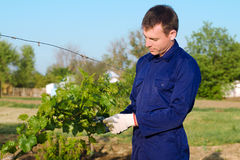 Male farmer tying grape Royalty Free Stock Images