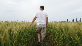 Male farmer walking in the field with wheat and inspects his crop. stock video