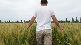 Male farmer walking in the field with wheat and inspects his crop. stock footage