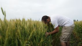 Male farmer walking in the field with wheat and inspects his crop. stock video footage