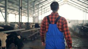 Male farmer walks in a byre full of domestic cows. 4K stock footage