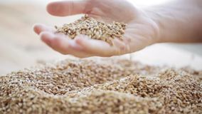 Male farmers hand pouring malt or cereal grains stock video