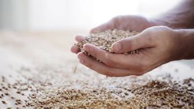 Male farmers hands holding malt or cereal grains stock video footage