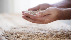 Male farmers hands holding malt or cereal grains stock footage