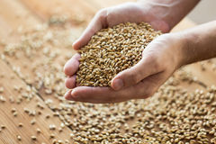 Male farmers hands holding malt or cereal grains. Agriculture, farming, prosperity, harvest and people concept - close up of male farmers hands holding malt or Royalty Free Stock Photos