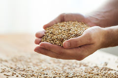 Male farmers hands holding malt or cereal grains. Agriculture, farming, prosperity, harvest and people concept - close up of male farmers hands holding malt or Royalty Free Stock Photo