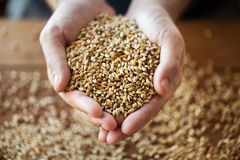 Male farmers hands holding malt or cereal grains. Agriculture, farming, prosperity, harvest and people concept - close up of male farmers hands holding malt or Royalty Free Stock Images