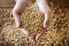 Male farmers hands holding malt or cereal grains. Agriculture, farming, prosperity, harvest and people concept - close up of male farmers hands holding malt or Stock Photo